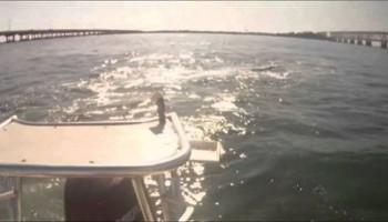 Shark attacks tarpon hits boat